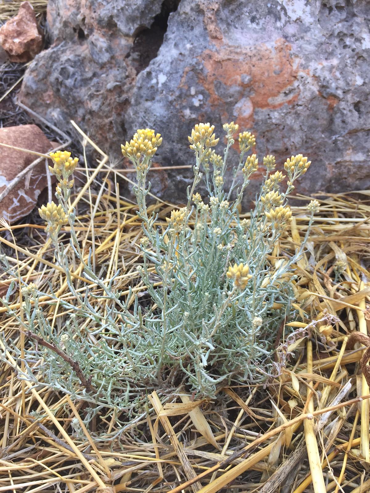 Helicrysum italicum