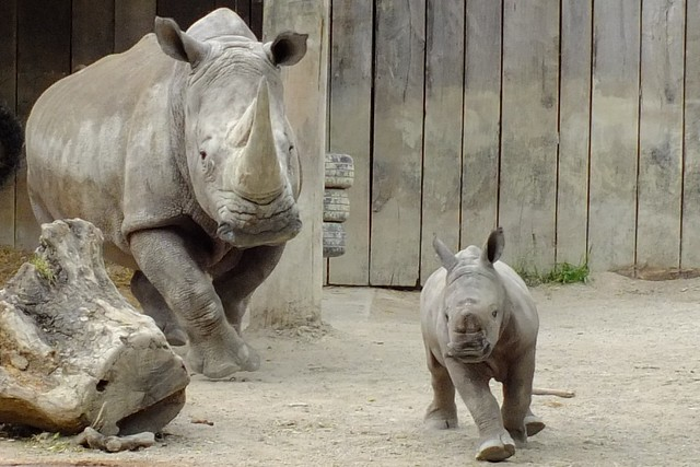 Wo ist nur meine Zukunft hin?? / 我的未来去哪了?Where has my future gone?? Breitmaulnashorn Amiri / White Rhino Amiri  (Ceratotherium simum)