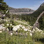Beargrass along the Otokomi Lake trail