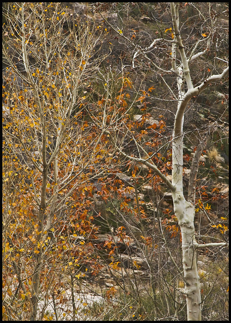 Sabino Canyon #26 2017; Arizona Sycamore & Cottonwood