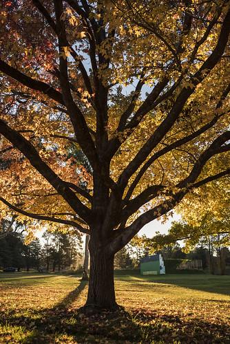 autumn seasons colour leaves trees foliage park gold goldenhour backlight sunset yellow armidale newengland newsouthwales nsw australia nikond750 sigma35mmf14