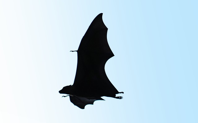 Fruit Bat fly-by
