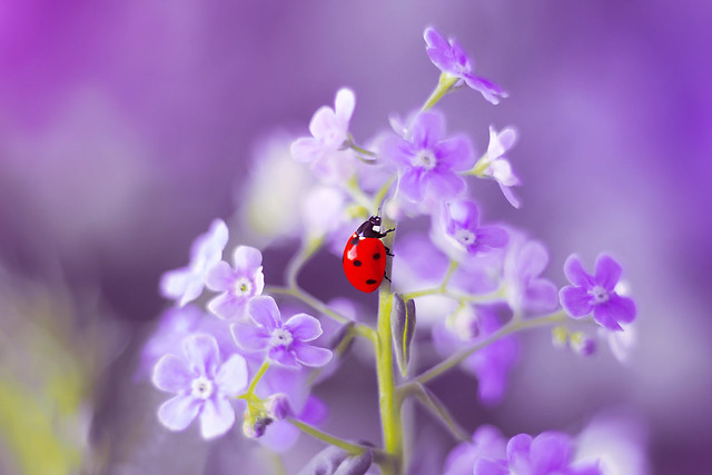 Forget-me-not 🐞💜