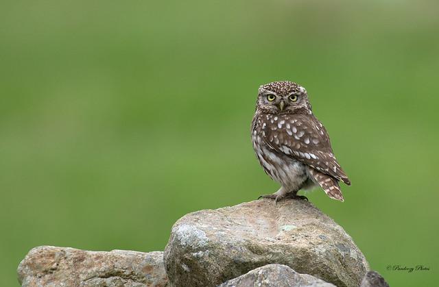 Little Owl-Athene noctua.