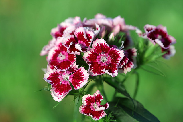RUS63660(Bouquet of Carnations)