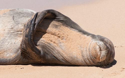Sleepy Monk Seal