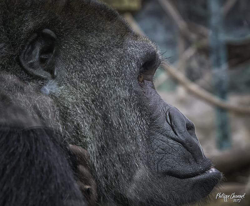 Gorilles - Archives 34117796773_a60db33faf_c