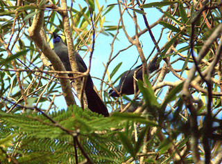 3 kōkako in trees - Grant Capill