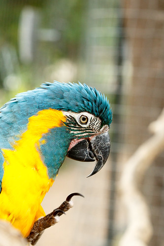 avian sunny natural color exotic nature wing beauty background orange red trees feather wild parrot tree macaw tit bird costa black sunlight isolated yellow parot sky single animal sitting perch beak sunset ara closeup dry flying wings gold one pet playful light portrait sun blue colorful wildlife beautiful bright blueandyellow eyes flight landscape animals life branches tropical green