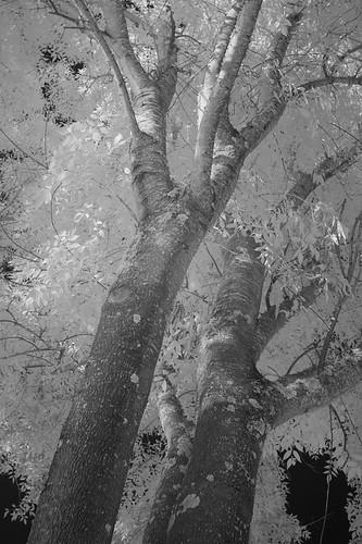 IR Tree Trunks | by Bill de Jager