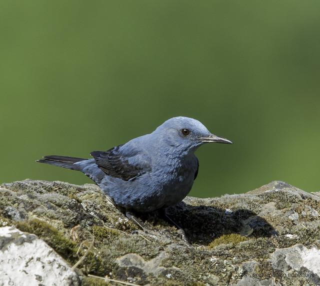 Monticola  solitarius - Blue rock thrush - Melro azul