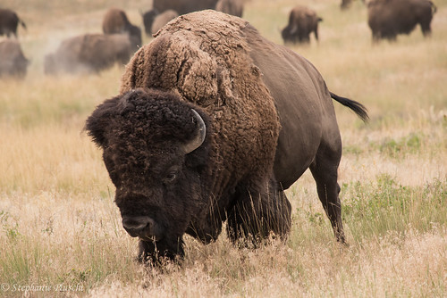 Bison Bull | by stephaniepluscht