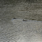 Waterfowl on Swan Lake