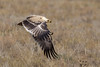 Tawny Eagle - Pale Race by Hector16