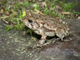 Fowler's Toad | by Justin Lee (NoNameKey)