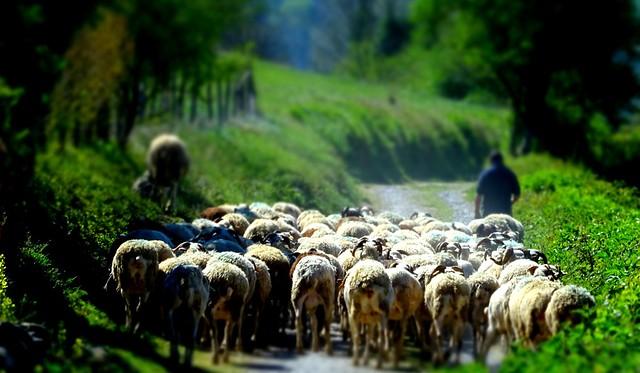 Asté (Hautes-Pyrénées, Fr) - Le mouton noir