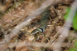 Grass Snake captures Toad - High Beech Epping Forest