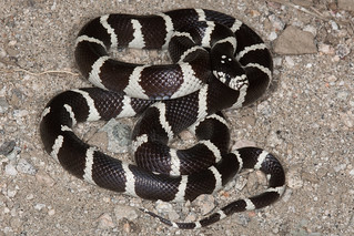 California Kingsnake | by Jeremy Wright Photography