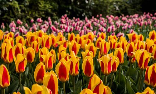 Yellow and pink tulips in Keukenhof garden | by wuestenigel