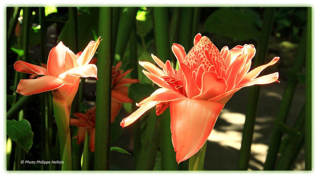 Roses de porcelaine © Jardin botanique Deshaies-2 clichés | Flickr