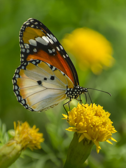 Plain tiger on marigold