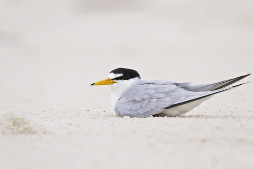 least tern edit 2 | by G_Anderson