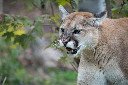 Cougar Toothy Smile   by Eric Kilby