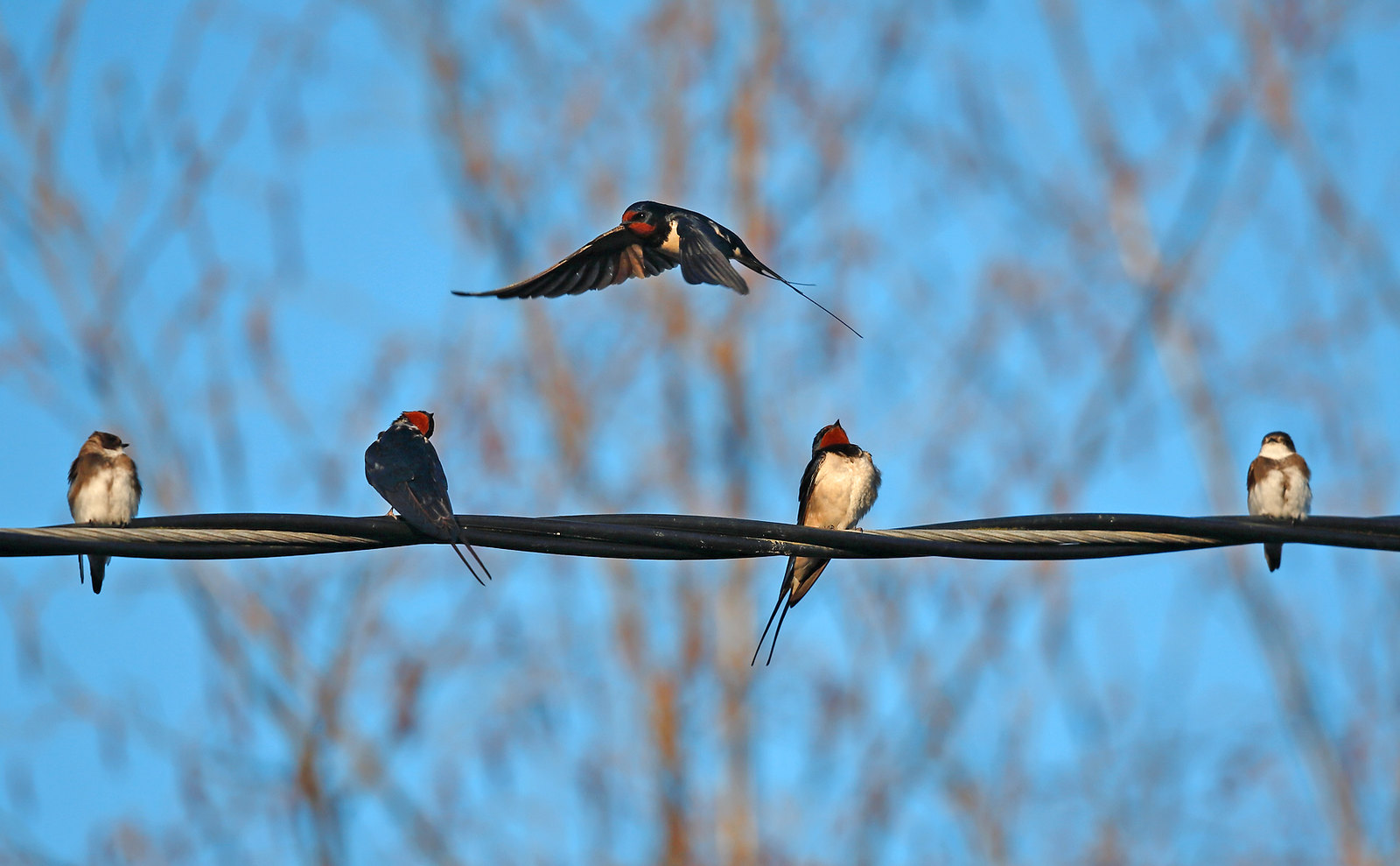 Swallow and Sand Martins