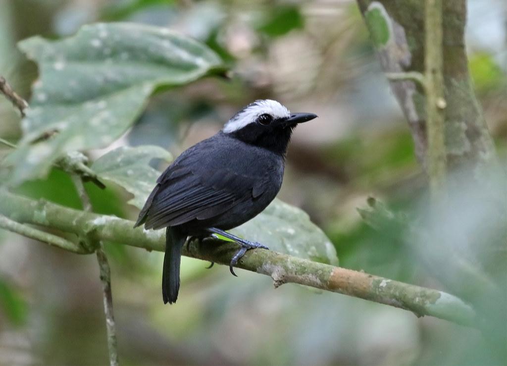 Peru: White-browed Antbird