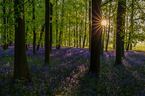 1635 6d blue bluebellwoods bluebells camera canon canon1635l canon6d colours danielborg dockeywood flowers fullframe gold green hertfordshire homecounties nature places purple sun sunrise tree trees tring wideangle woodland woods yellow ringshall england unitedkingdom gb