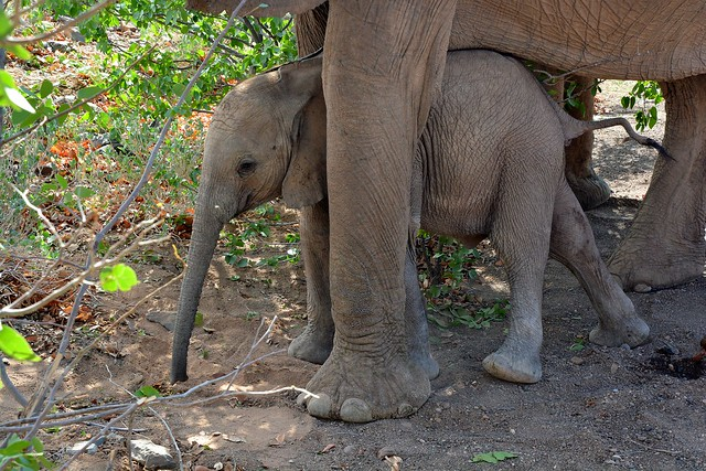 Desert Adapted Elephants in Damaraland, Namibia.