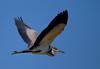 black-headed heron by tdwrsa