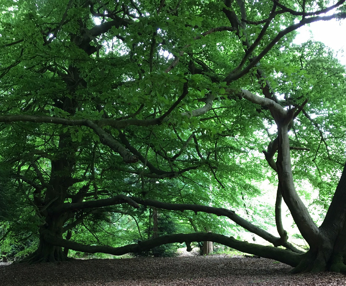 Beech Trees (inosculation)