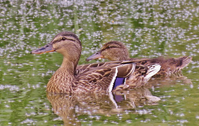 Female Mallard and duckling, Essex