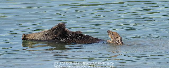 Cinghiale - Sus scrofa - Wild boar