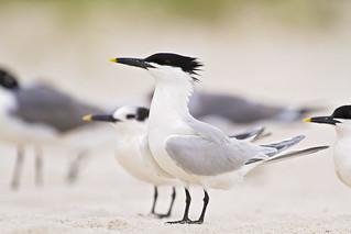 sandwich tern | by G_Anderson