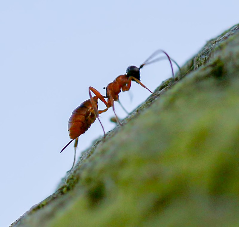 ant-mimic-wasp