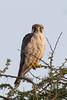 Amur Falcon by Hector16