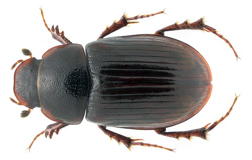 Agolius abdominalis ssp. pecoudi Hofmann, 1954 | by urjsa