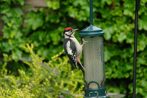 Great spotted woodpecker by Graham Avison | by sdbwsmembers