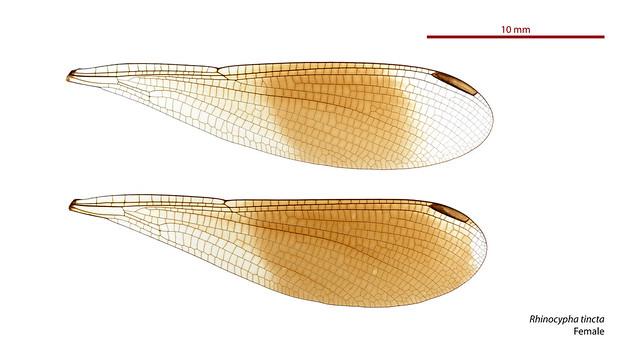 Rhinocypha tincta female wings