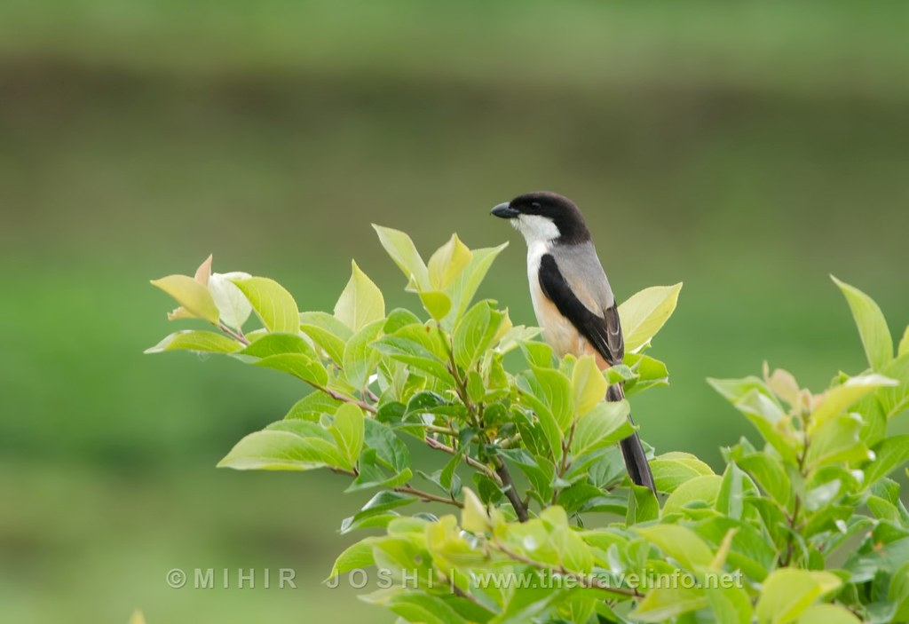 Long-tailed Shrike [Alcaudón Schach]