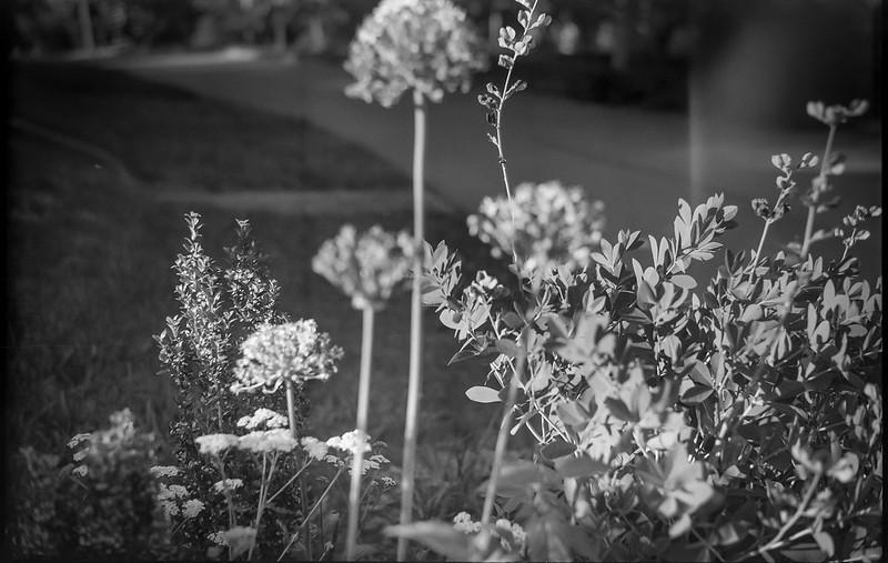 floral cluster, yard, neighborhood, West Asheville, NC, Ercona II, Arista.Edu 200, Moersch Eco Film Developer, 5.20.17