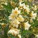 Oleander by Marlis1