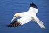Northern Gannet in flight on Helgoland / Basstölpel auf Helgoland by Frans.Sellies