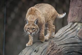 4640 Bobcat | by mliu92