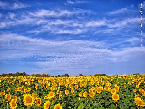 grinterfarms sunflower sunflowers sunflowerfield sunflowerfields kansas afternoon landscape wildflower wildflowers leavenworthcounty 2016 september september2016 color colour colors colours nature usa