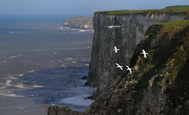 Gannets - Morus bassanus