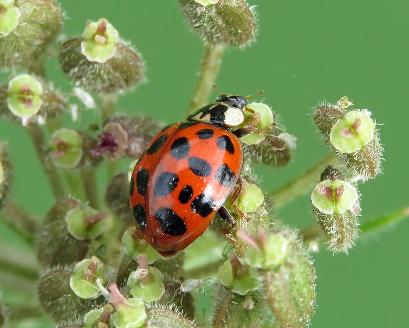 Harlequin Ladybird - Harmonia axyridis