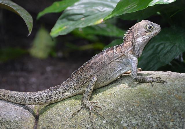 Forest Dragon (Hypsilurus magnus)